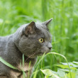 Portrait of young british cat walking in grass — Stock Photo #26423661