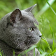 Portrait of young british cat siting in grass - Stock Photo