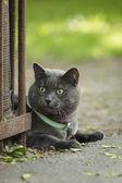 Ritratto di giovane gatto britannico di ubicazione sulla passerella — Foto Stock