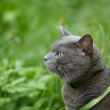 Portrait of young british cat walking in grass - Stock Photo