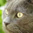 Close up portrait of young british cat — Stock Photo