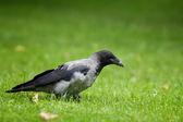Vrána na trávě — Stock fotografie