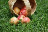 Birchbark cesta llena de manzanas gala — Foto de Stock