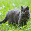 Portrait of young british cat in grass — Stock Photo #27357837