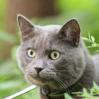 Portrait of young british cat in grass — Stock Photo #27357839