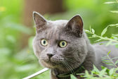 Portrait of young british cat in grass — Stock Photo