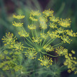 Dill umbrella flower close up — Stock Photo