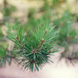 Close up photo of pine branch — Stock Photo