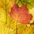 Different autumn leaves — Stock Photo
