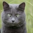 British gray cat in the grass — Stock Photo