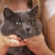 British shorthair cat in girls hands — Stock Photo