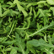 Fresh arugula — Stock Photo #31261759