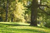 Old oak tree in the park — Stock Photo