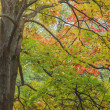 Maple tree lush with colorful leaves — Stock Photo