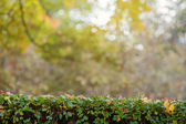 Green hedge with autumn leaves and blurry background — Stock Photo