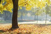 Jesienny poranek w parku z drzewa klonowego — Zdjęcie stockowe