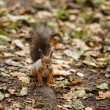 Stock Photo: Small squirell in park