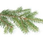 Gree spruce twig — Stock Photo