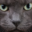 Close up portrait of british cat — Stock Photo