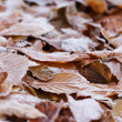 Close up photo of frosty chestnut leaves — Stock Photo
