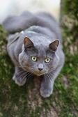 British shorthair cat climbing on the tree — Стоковое фото