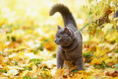 British shorthair cat outdoor walking in harness — Stock Photo