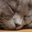 British shorthair cat sleep on wood table — Stock Photo
