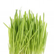 Stock Photo: Fresh oat sprouts for cats or humans
