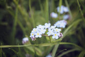Forget me nots close up flowers — Stock Photo