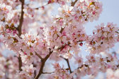 Japan sakura cherry blossom — Stock Photo