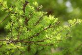 Small larix tree leaves close up — Stockfoto