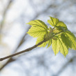 New spring maple leaves — Stock Photo