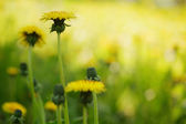 Yellow summer dandelion flowers — Stock Photo