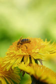 Wasp collecting nectar on dandelios — Stock Photo