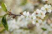 Close up photo of white cherry flowers — Stock Photo