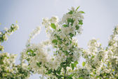 Apple tree blossom with white flowers — Stock Photo