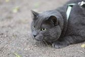 Young british gray cat hunting outdoors — Stock Photo
