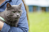 British shorthair cat on hands with unhappy look — Photo