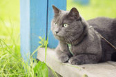 British shorthair cat si on veranda — Stock Photo