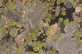 Granite covered with colorful lichen — Stock Photo