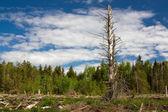 Finlandiya'da temizleyerek orman — Stok fotoğraf