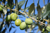 Olive branch 1 — Stock Photo