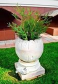 Coniferous plant in a decorative pot — Stock Photo