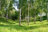Birch Grove in the gully — Stock Photo