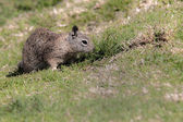 Ground squirrel in La Jolla, Southern California, Pacific Ocean Beach — Stock Photo