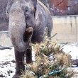 Elephants in Prague ZOO eating christmas trees — Stock Photo