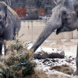 Stock Photo: Elephants in Prague ZOO eating christmas trees