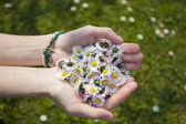 Woman's hands with Daisies — Stock Photo