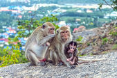 Monkeys in the mountains contemplate the nature — Stock Photo