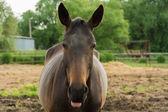 Улыбка лошади — Стоковое фото